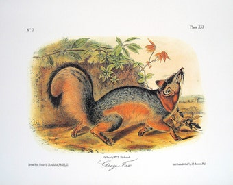 Grey Fox 1989 Vintage Audubon Book Plate Page for Framing Naturalist Illustration