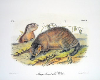 Hoary Marmot The Whistler 1989 Vintage Audubon Book Plate Page for Framing Naturalist Illustration