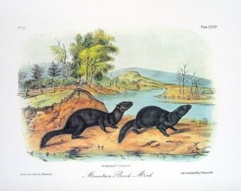 Mountain Brook Mink 1989 Vintage Audubon Book Plate Page for Framing Naturalist Illustration