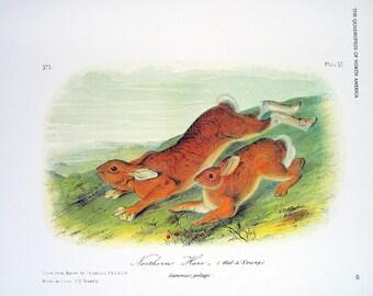 Northern Hare 1989 Vintage Audubon Book Plate Page for Framing Naturalist Illustration