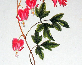 Dielytra Spectabilis 1984 Vintage Book Plate Naturalist Illustration