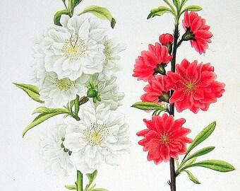 Flower Print - Double White Flowering Almond, Double Crimson Flowering Peach - 1984 Vintage Book Plate Naturalist Illustration 2