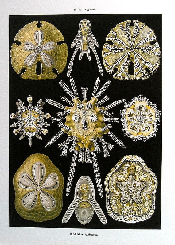 Sea Urchins and Rugosa 1990  Haeckel Print Lithograph Book Plate P29-30