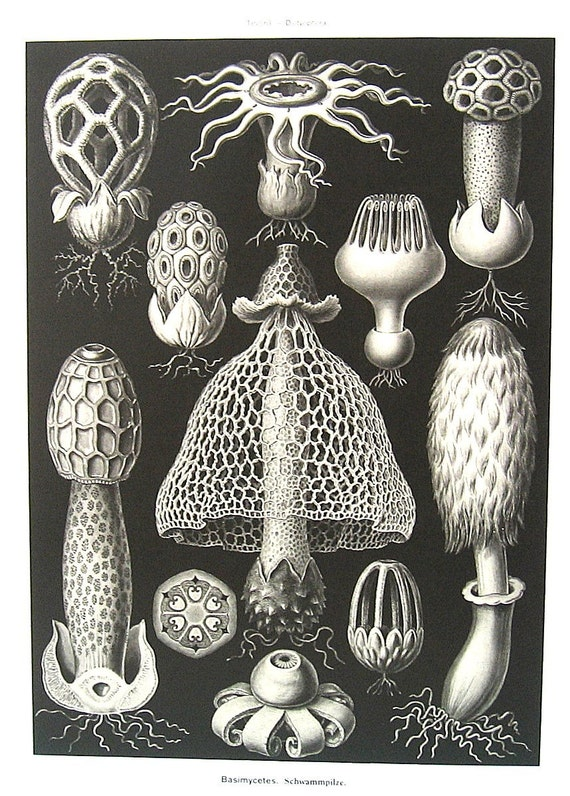 Fungi and Siphonales Haeckel Art 1990 Vintage Book Plate P63
