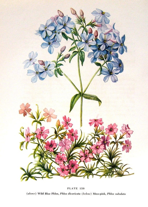 Phlox 1954  Wildflower Vintage Book Plate For Framing p159