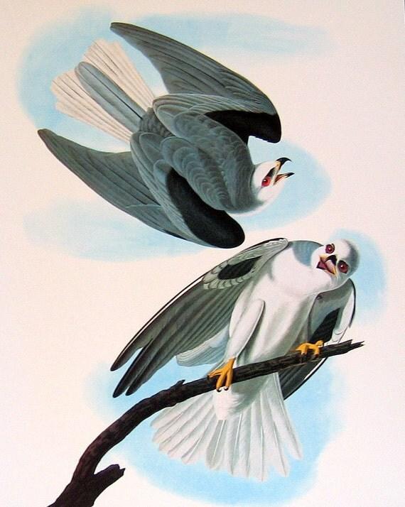 2 Sided Large Audubon Bird Print Black Winged Hawk and Swallow Tailed Kite p91