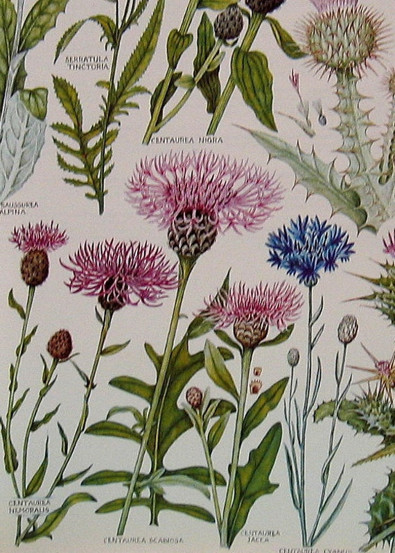 1965 British Flowers Vintage Book Plate Scottish Thistle, Milk Thistle, Star Thistle P49