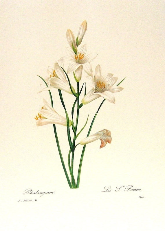 Phalangium 1981 Large Vintage Colored Botanical Book Plate