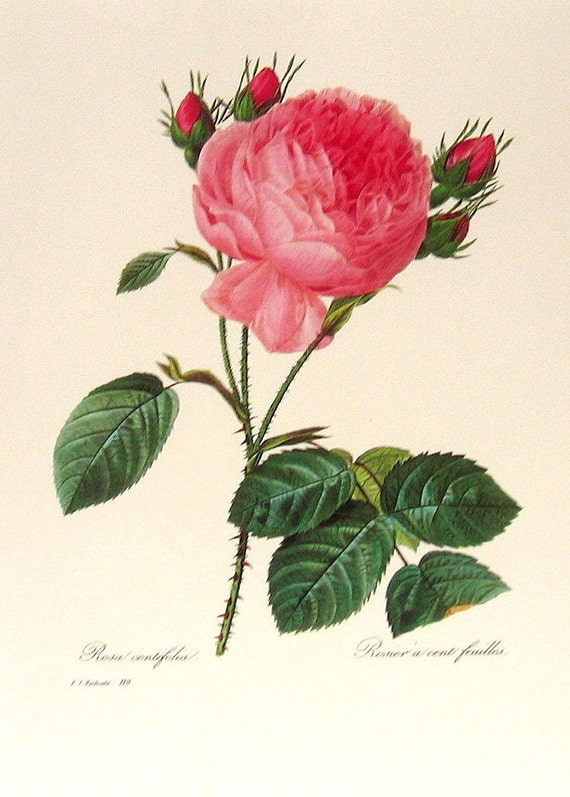 Rosa centifolia 1981 Large Vintage Colored Botanical Book Plate
