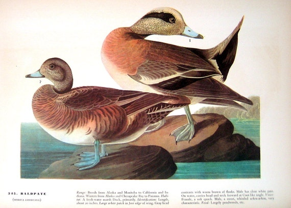 Baldpate, Pacific Loon 1941 2 sided Audubon Birds Book Plate with Names and Descriptions