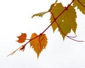 CLEARANCE Fall Photo Nature Photograph Grape Vine Minimalist Olive Green Rust Rustic Decor 5x5 Inch Fine Art Photography Print Autumn Vines
