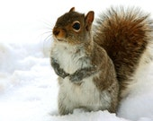 CLEARANCE Squirrel Animal Photography, Squirrel Picture, Grey, Brown, White, Winter, Snow- 5x7 inch Print -I Would Like The Cookie