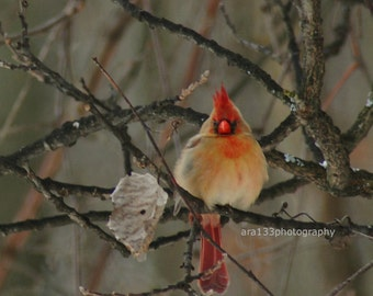 Winter Cardinal Photography, Bird Photo, Animal Picture, Nature, Woodland, Forest, Grey, Red, Black- 5x5 inch Print -Colorful Cardinal