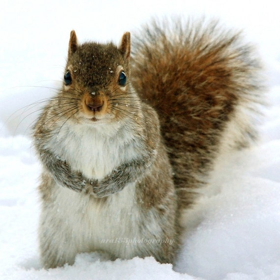 CLEARANCE Animal Photograph, Nature Picture, Winter, Squirrel, Grey, Brown, White, Snow, Woodland, Cute  - 5x5 inch Print - You Talkin to Me