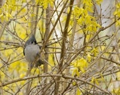 Tufted Titmouse in Forsinthia - Photo Greeting Card