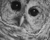 Barred Owl Portrait - Photo Greeting Card