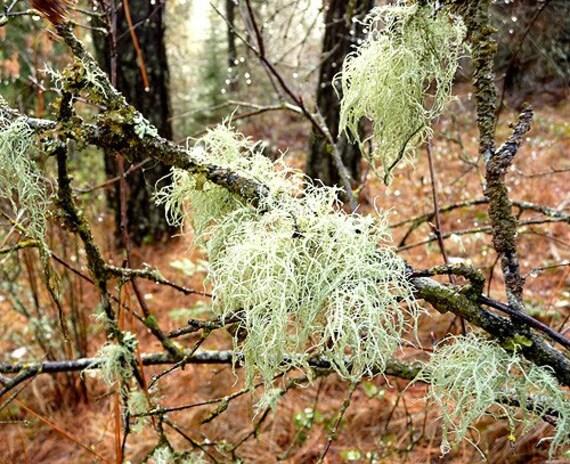 Lichen Moss Terrarium Organic Supplies Raindeer Beard