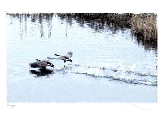 Wildlife Photography Spring Nature Canada Geese Fine Art Print Original