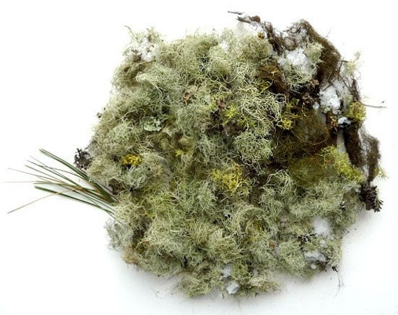 Natural Lichen Moss Authentic Forest Methuselah's Beard No.3