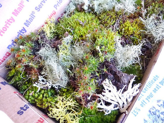 Moss Lichen Terrarium Live Organic Real Assortment Collection Priority Mail Wedding Decoration