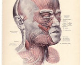 1903 Antique MUSCLES OF THE FACE Illustration