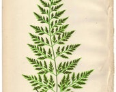 1872 Antique FERN Illustration