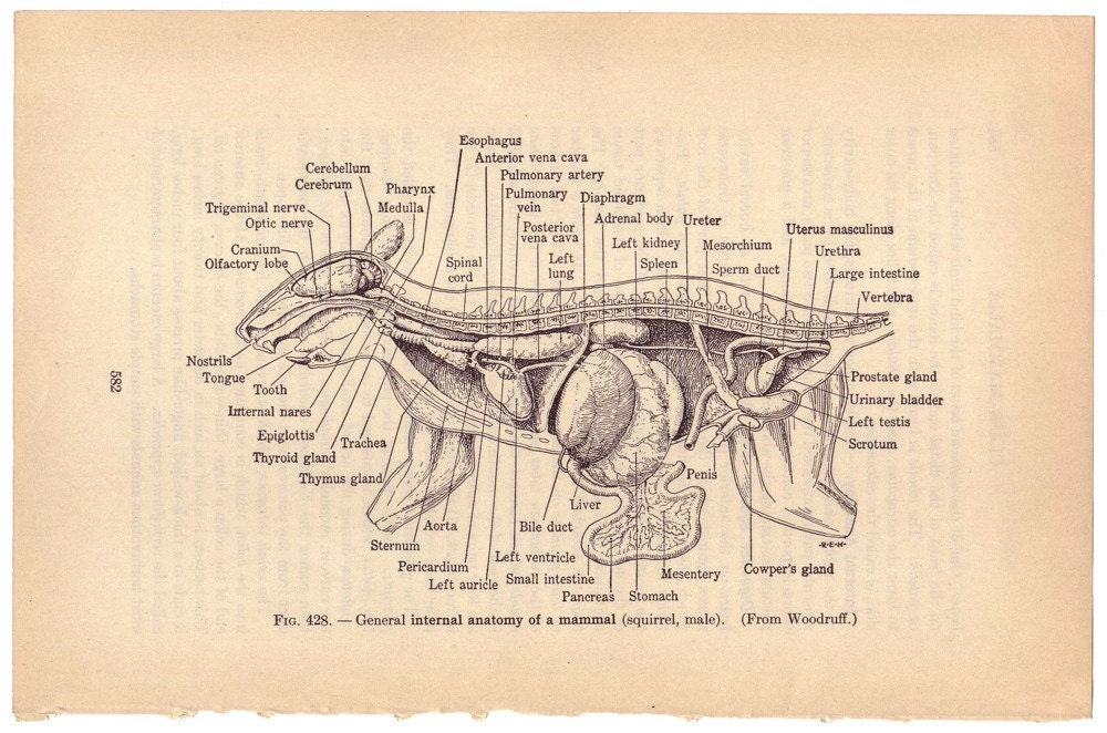 Male squirrel anatomy