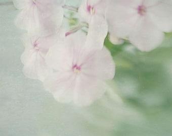 Soft Pink  Flower Photograph, a Floral Art Print of  Phlox, Flower Still Life, Shabby Chic Wall Decor