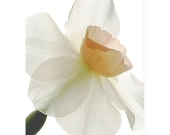Pink Daffodil Card, Scanned Flower, Botanical Print, Blank Card, Photo Card