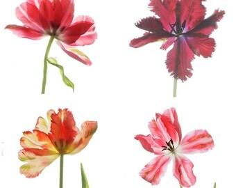 Four Parrot Tulip Photographs,  Floral Art Prints , Flower Scans, Flower Wall Decor, Red Tulips