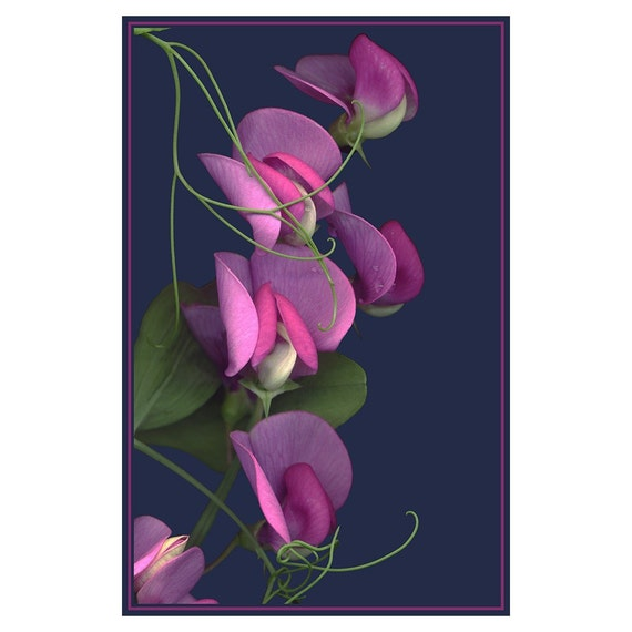 Sweet Peas Photograph, Botanical Wall Decor, Scanned Flower Print, Flower Photography, Hot Pink
