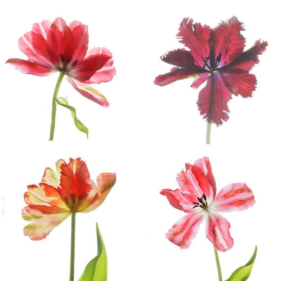 Four Parrot Tulip Photographs,  Floral Art Prints , Flower Scans, Flower Wall Decor, Red Tulips