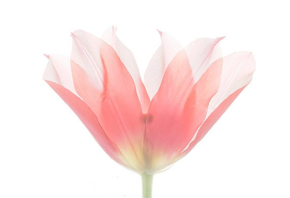 Tulip Botanical Print,  Floral Wall Decor, Pink Tulip Photo, Flower Scan, Minimalist, X-Ray, Floral Art Print, Tulip Wall Art
