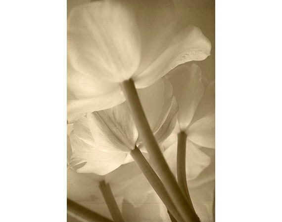 Tulip Print, Sepia Photography, Tulips Photo,  Flower Photography, Botanical Art, Shabby Chic Decor