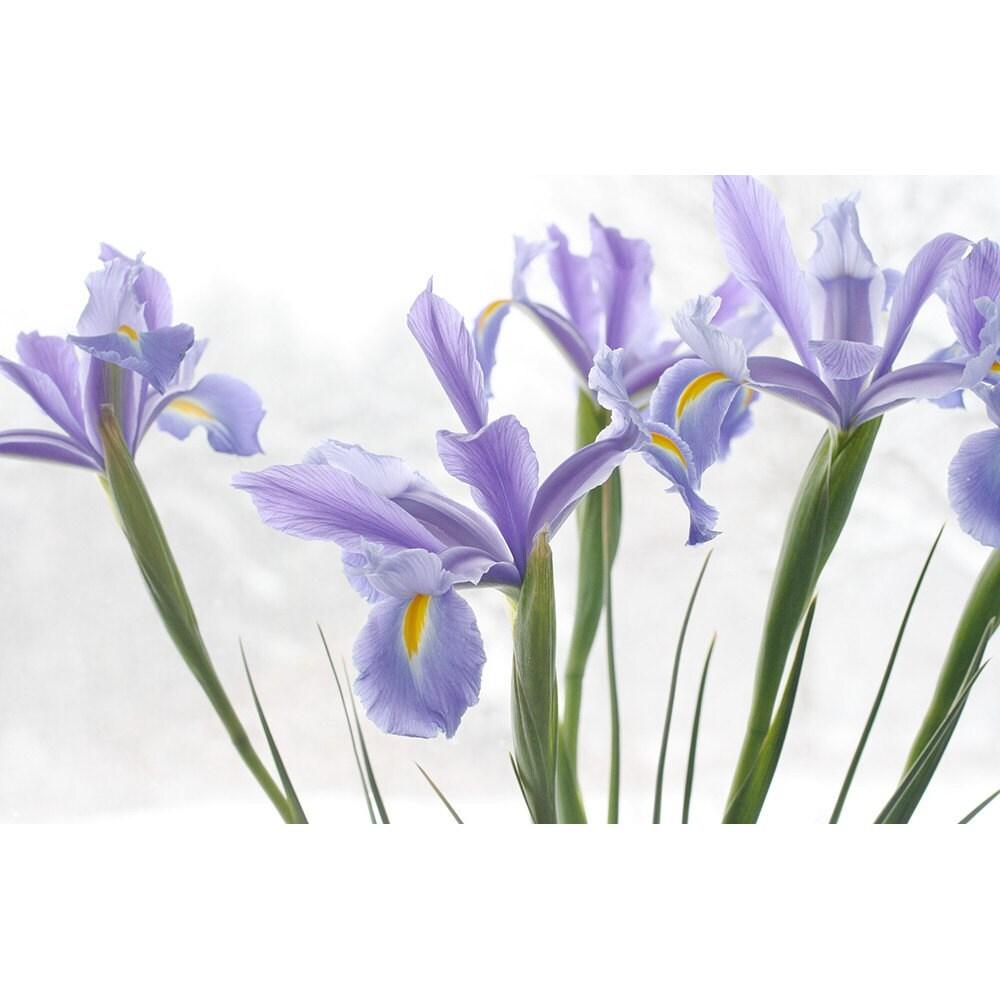 ... Epsilon , Lovely Purple Iris Drawing , Lovely Purple Iris Clip Art