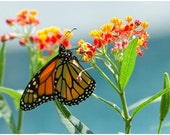 Milkweed Seeds Monarch Butterfly host plant
