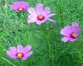 Cosmos Sensation, Cosmos Bipinnatus Organic Seeds
