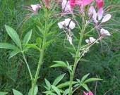 Spider Flower - Cleome Hassleriana Organic Heirloom Seeds