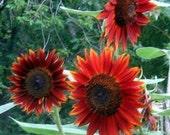 Velvet Queen Sunflower Helianthus Annuus Organic Heirloom Seeds