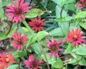 Red Spider Zinnia - Zinnia tenuifolia Organic Heirloom Seeds