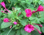 Four O'Clocks, Marvel of Peru, Mirabilis jalapa Organic Heirloom Seeds Night Blooming