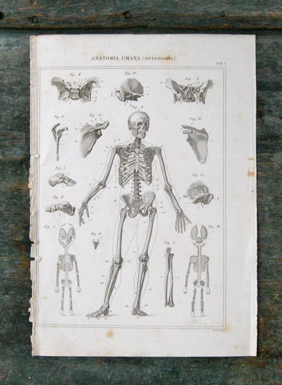 Medical Human Anatomy Skeleton Illustration - Original Rare Antique Italian Engraving