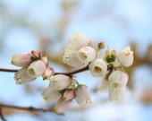 Blueberry Blossom - 5x7 Fine Art Photograph