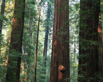 In the Redwood Forest - 5x7 Fine Art Photograph