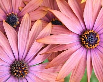 Dazzling Daisy - 5x7 Fine Art Photograph