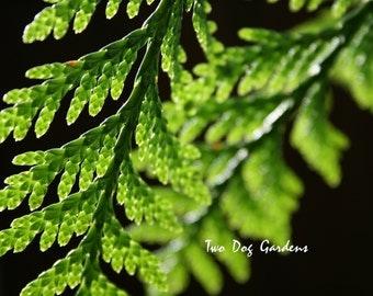 Morning Cedar - 5x7 Fine Art Photograph
