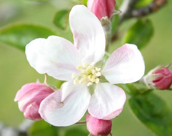 Apple Blossom - 5x7 Fine Art Photograph