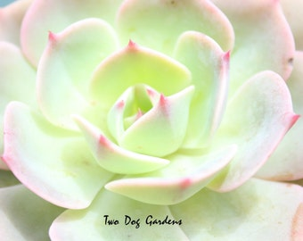 Minty Rose - 8x10 Fine Art Photograph