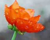 Rainfall Orange Flower color fine art 5x7 metallic photograph
