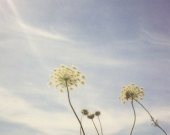 Nature photography, queen annes lace, summer photo, wild flowers, cottage chic, shabby chic, polaroid - under the country sky we grow